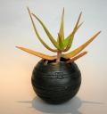 アロエ黄星錦 黒幻地球鉢