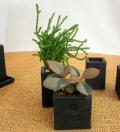 多肉植物・黒幻四角鉢