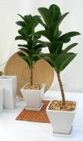 アポロゴム ホワイトスクエア観葉植物販売