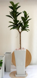 フィカスアポロゴム 観葉植物販売