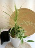観葉植物寄せ植えS 販売