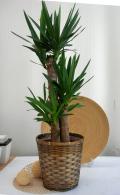 観葉植物 ユッカ青年の木 送料無料