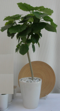 フィカス・ウンベラータ 白陶器鉢カバー付きプレーンポットS1