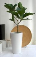 フィカス・アルテシマ ホワイトマット観葉植物 通販