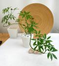 シェフレラ・コンパクター作り込み パウダーストーンB観葉植物通販・販売