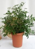 シェフレラ・コンパクター 8寸鉢観葉植物通販・販売