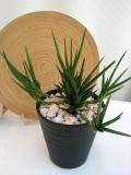 サンスベリア フランシシー M観葉植物通販・販売