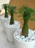 カイマギョク ホワイトマット観葉植物通販・販売