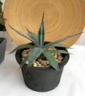 アガベ屈原の舞扇 C9366観葉植物通販・販売