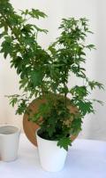 シェフレラ リラ 観葉植物通販・販売