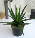 アガベトライアングラリス観葉植物通販・販売