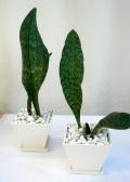 サンスベリア.マッソニア ホワイトスクエア観葉植物通販・販売