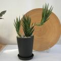サンスベリア フランシシー観葉植物通販・販売