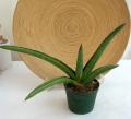 サンスベリア サムライ 観葉植物通販・販売