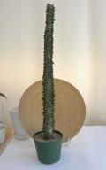 アローディア アスケンデンス観葉植物通販・販売