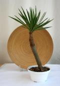 ユッカアロイフォリア 皿鉢観葉植物通販・販売