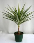 ユッカ中斑エレファンテス観葉植物通販・販売