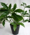 フィロデンドロンファンバン観葉植物通販・販売