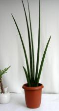 サンスベリア デザルティ観葉植物通販・販売