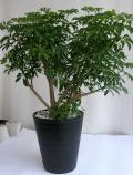 シェフレラ・コンパクター観葉植物通販・販売