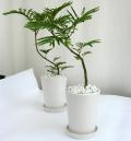 エバーフレッシュ・ホワイトマット観葉植物通販・販売