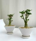 矮性アデニウム・テーパーポットS観葉植物通販・販売