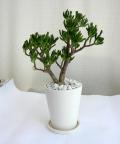 クラッスラ・オウァタ ゴーラム パウダーストーン観葉植物通販・販売