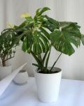 モンステラ デリシオサ マーベラスキング斑8寸観葉植物通販・販売  入