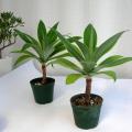アガベ アテヌアータ黄覆輪 観葉植物通販・販売