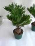 ザミア フロリダーナ観葉植物通販・販売