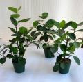 フィカス・オオバボダィジュ観葉植物通販・販売