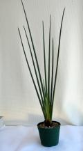 ノンリーフ・ストレリチア(パルビフォリア)観葉植物通販・販売