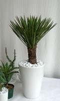 ユッカ・フィリフェラ観葉植物の販売