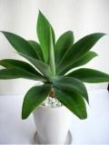 綺麗なアガベアテナータ マットホワイトs観葉植物(送料無料)