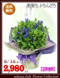 ★売れてます!敬老の日★長寿りんどう鉢物【青】2980円【送料無料】ネット特価!