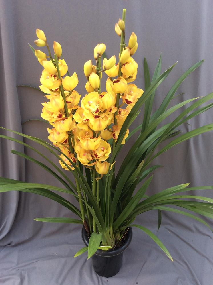 シンビジューム イエロー系 3本立ち以上【送料無料】※お花の品種は画像と異なる場合がございます。