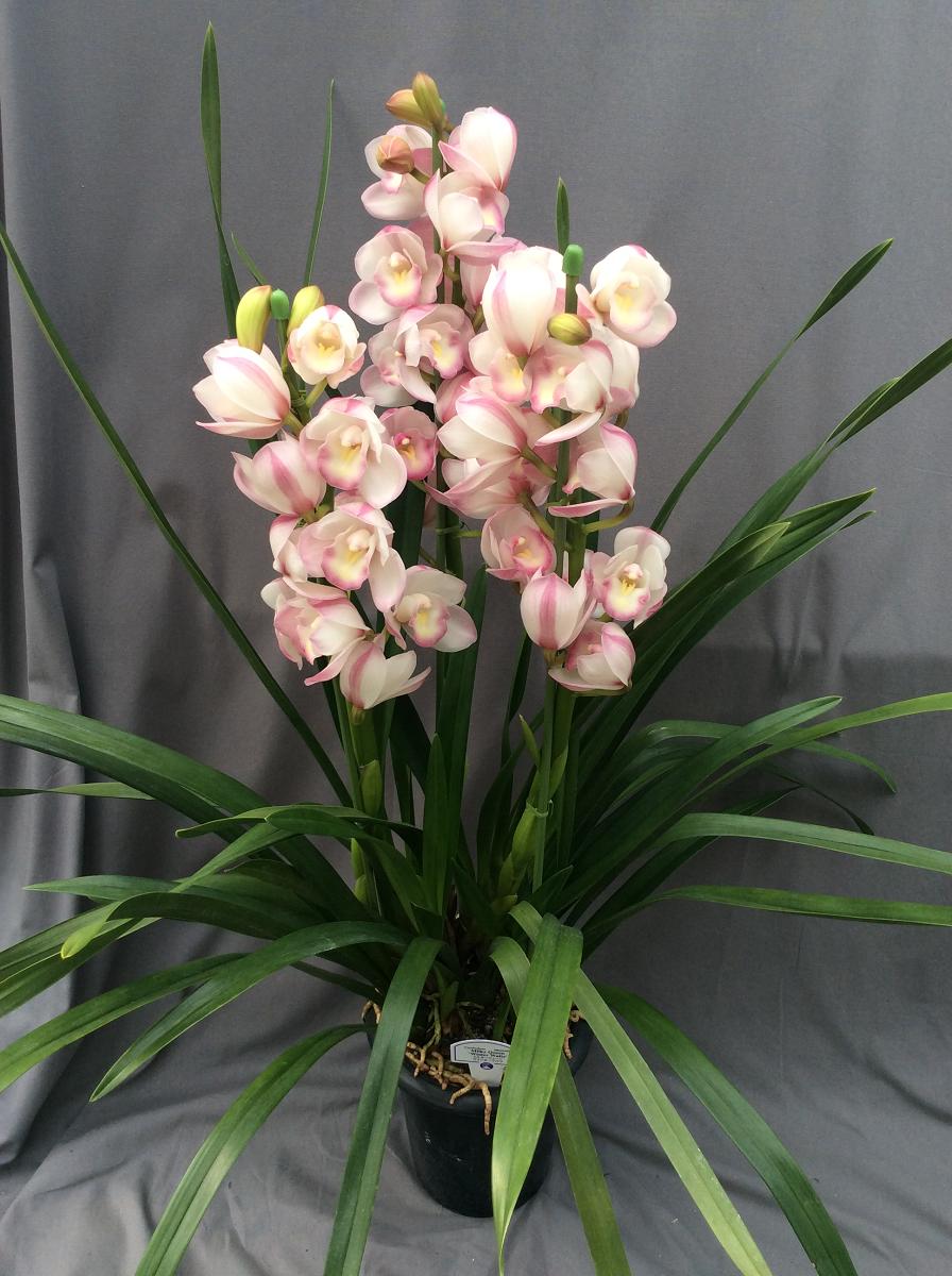 シンビジューム ピンク系 3本立ち以上【送料無料】※お花の品種は画像と異なる場合がございます。