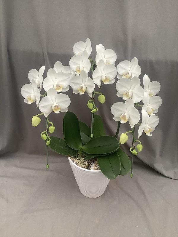 ミディ胡蝶蘭 ホワイト系 3本立ち以上 【送料無料】※お花の品種は画像と異なる場合がございます。