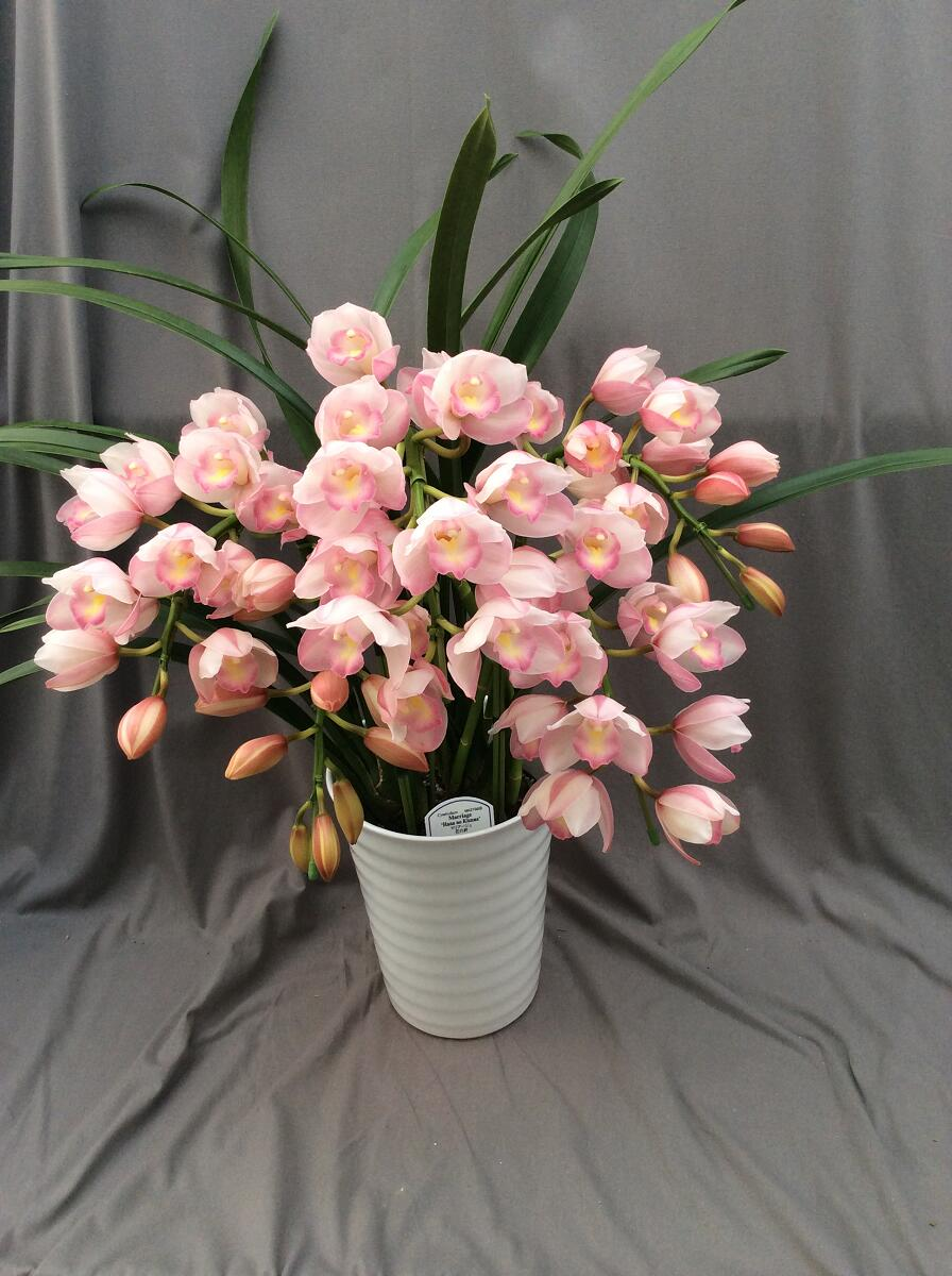 シンビジューム ピンク系  アーチ 5本立ち以上【送料無料】※お花の品種は画像と異なる場合がございます。