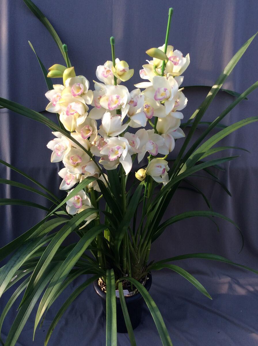 シンビジューム ホワイト系 3本立ち以上【送料無料】※お花の品種は画像と異なる場合がございます。