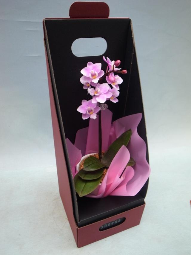 【椎名さんの農場直送】 マイクロ胡蝶蘭 ピンク、赤系 1本立ち 【送料無料】※お花の品種は画像と異なる場合がございます。