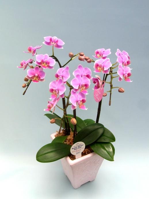 【椎名さんの農場直送】 ミディ胡蝶蘭 ピンク、赤系 3本立ち 【送料無料】※お花の品種は画像と異なる場合がございます。
