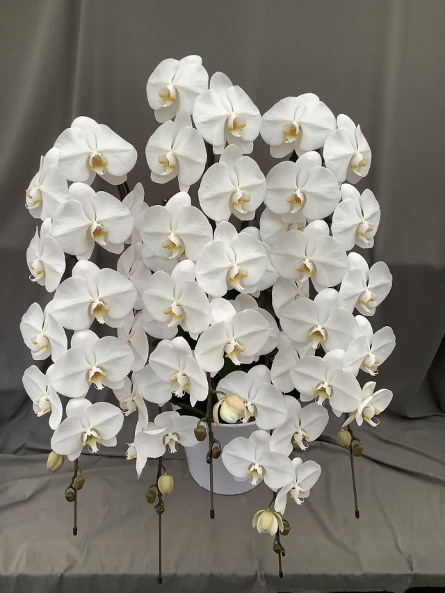 大輪胡蝶蘭 5本立ち 白 60輪(蕾込み)以上 【送料無料】