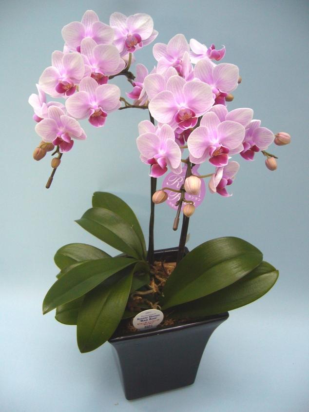 【椎名さんの農場直送】 ミディ胡蝶蘭 ピンク、赤系 5号鉢 2本立ち 【送料無料】※お花の品種は画像と異なる場合がございます。