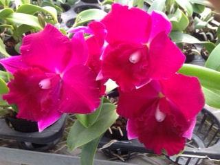 【栽培用 花なし株のみ】Lc.Mini Purple x Pot.Chatoyant (No371)