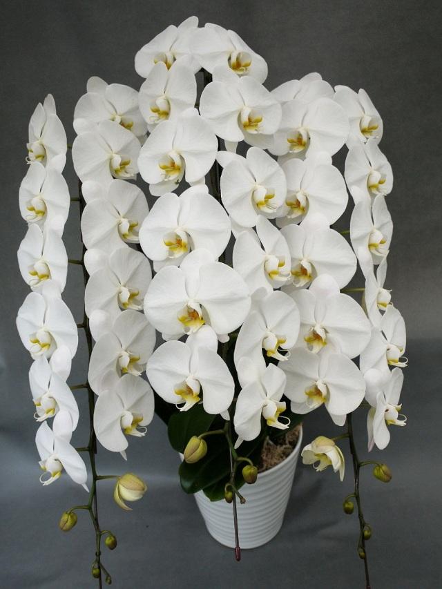 大輪胡蝶蘭 3本立ち 白 50輪(蕾込み)以上 【送料無料】