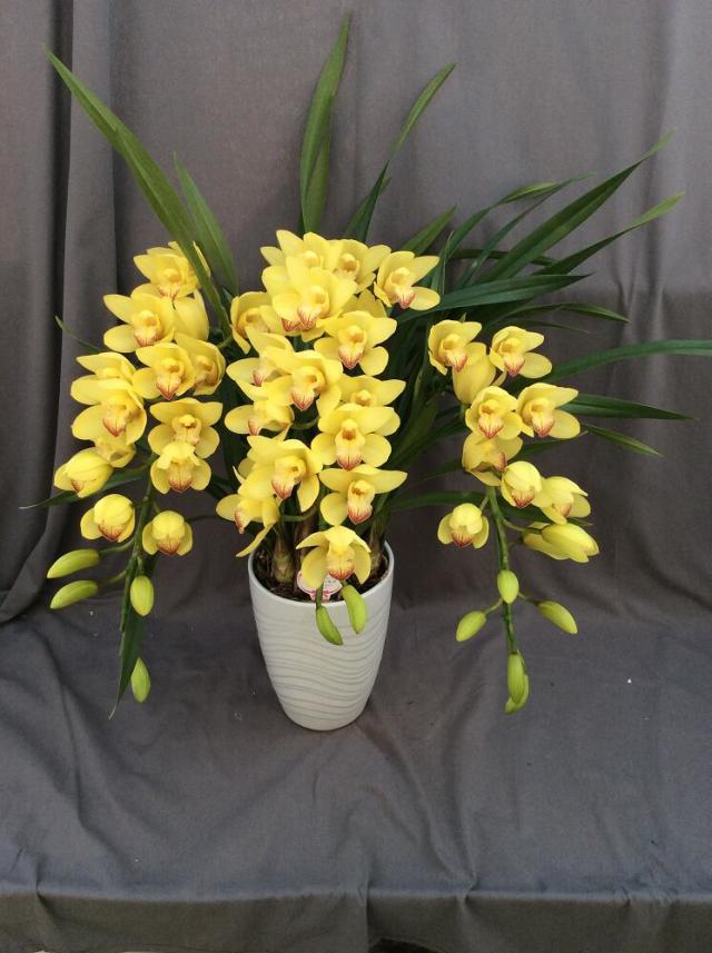 シンビジューム イエロー系  アーチ 3本立ち以上【送料無料】※お花の品種は画像と異なる場合がございます。