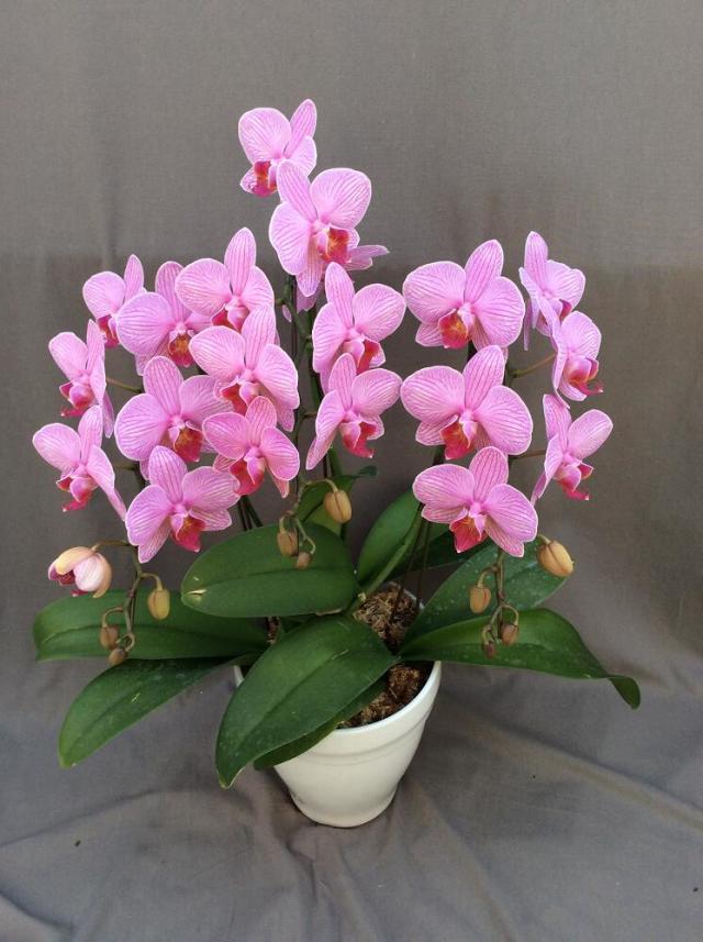 ミディ胡蝶蘭 ピンク系 3本立ち以上 【送料無料】※お花の品種は画像と異なる場合がございます。