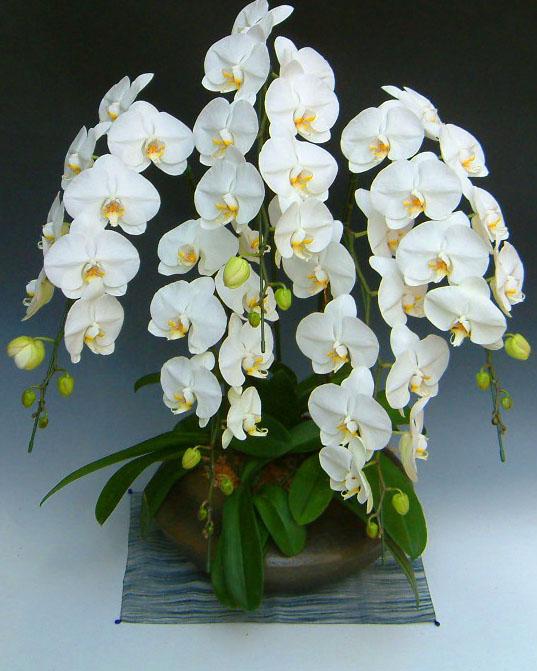 【森田さんの農場直送】 大輪胡蝶蘭 5本立ち 白 和仕立て 【送料無料】