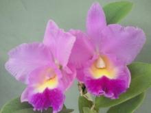 【栽培用 花なし株のみ】Lc.Mini Purple x C.Horace (No128)